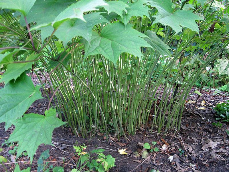 Wachsglocke pflanze kirengeshoma palmata staude japanische for Japanische pflanzen